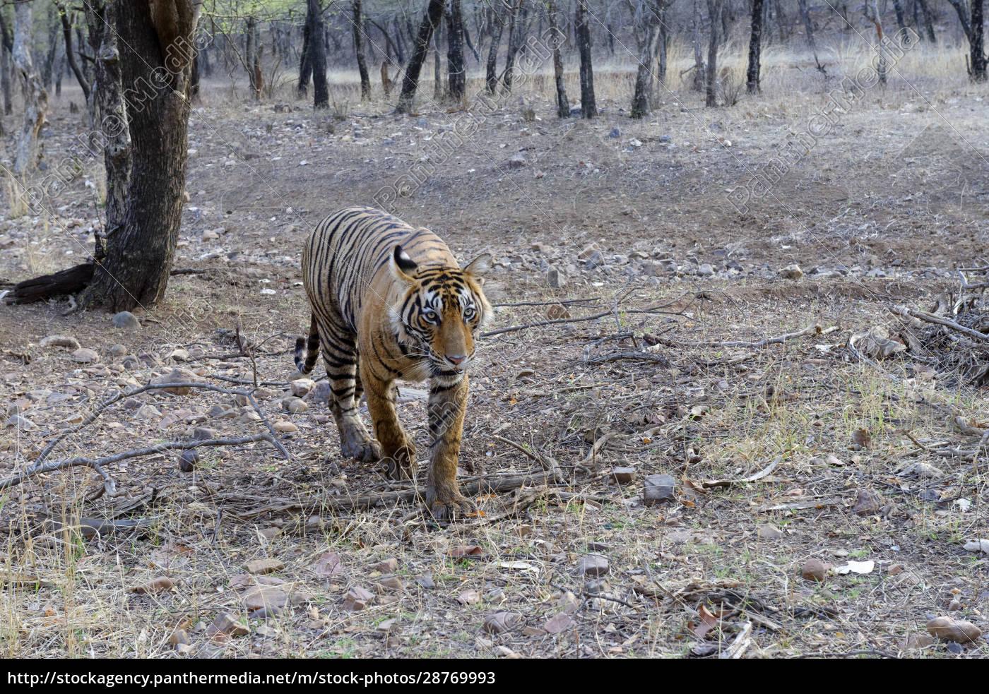 female, bengal, tiger, (panthera, tigris, tigris), - 28769993