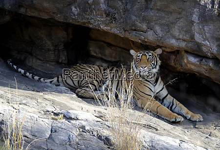 female bengal tiger panthera tigris tigris