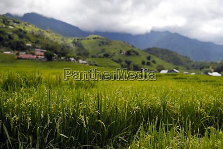 rice fields on terraces sapa vietnam