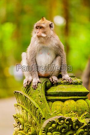 monkey at the sacred monkey forest