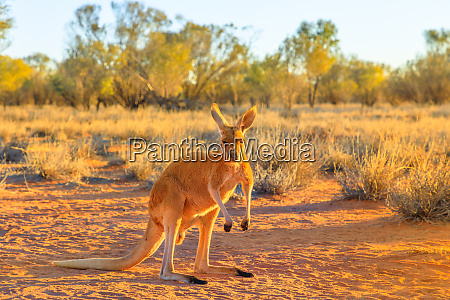 side view of red kangaroo macropus