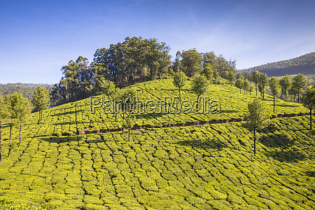 tea estate munnar kerala india asia