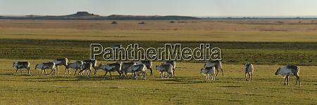 reindeer herd iceland polar regions