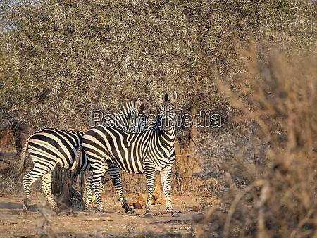 adult plains zebras equus quagga in