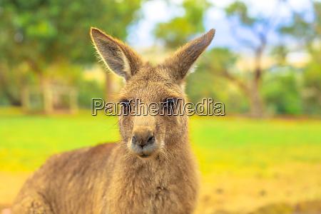 portrait of front view of kangaroo