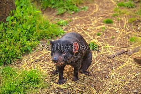 front view of tasmanian devil sarcophilus