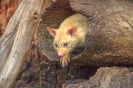 golden brushtail possum on a tree