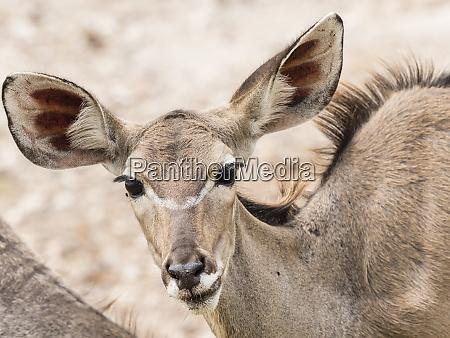 female greater kudu tragelaphus strepsiceros chobe