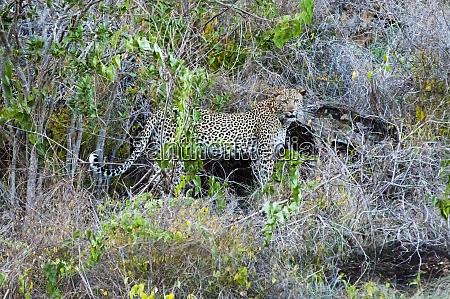 leopard panthera pardus lualenyi ranch taita