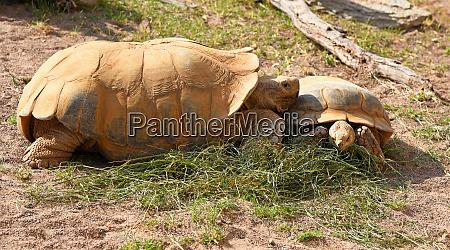 turtles eat grass