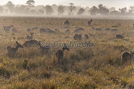 huge numbers of indian hog deer