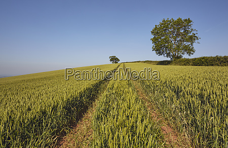 english farmland a field of growing