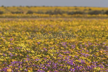 namaqualand spring flowers matjiesfontein farm nieuwoudtville