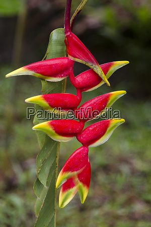heliconia flower in the mountains of