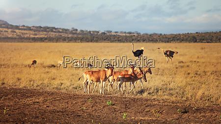 small herd of hartebeest kongoni alcelaphus