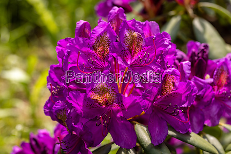 blooming purple flowers of rhodenron a