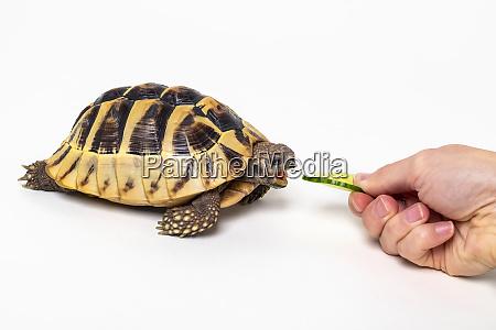 woman treating a eastern hermanns tortoise