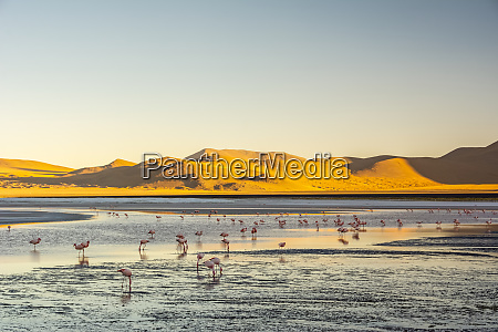 jamess flamingos phoenicoparrus jamesi feeding at