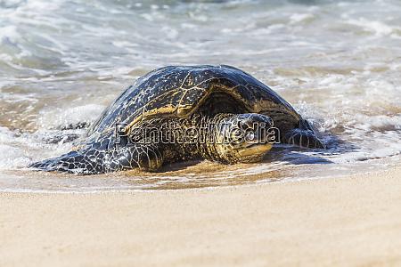 green sea turtle chelonia mydas comes