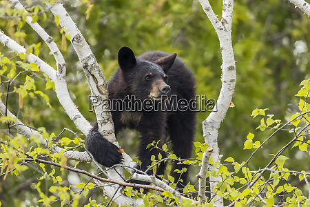 black bear cub ursus americanus looking