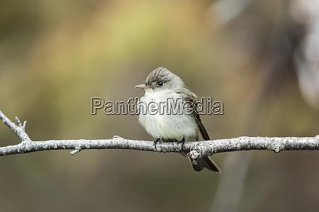 least flycatcher empidonax minimus perched on
