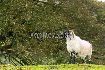 a solitary ram on a grassy