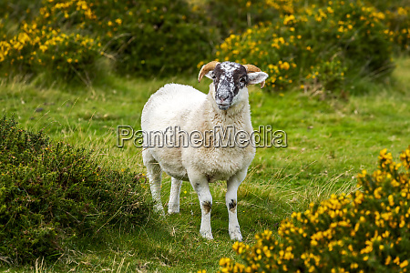 a lamb ovis aries surrounded by