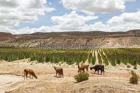 llamas lama glama grazing on a