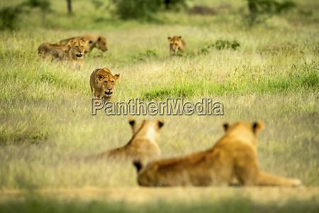 lioness panthera leo walking through a