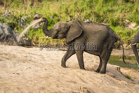african bush elephant loxodonta africana taking