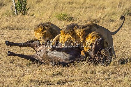 four male lions panthera leo feeding