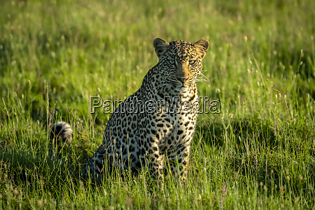 portrait of a leopard panthera pardus