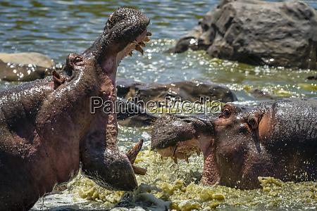 male hippo hippopotamus amphibius in water