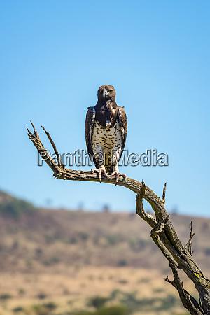 portrait of martial eagle polemaetus bellicosus