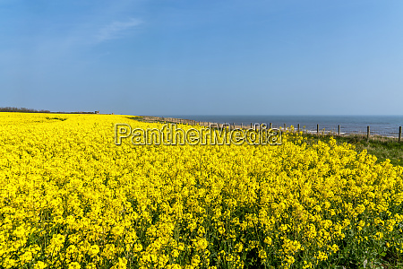 canola field with bright yellow blossoms