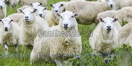 flock of white sheep ovis aries