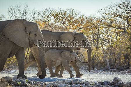 african elephant family loxodonta etosha national