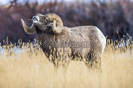large bighorn sheep ram ovis canadensis