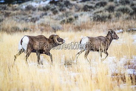 bighorn sheep ram ovis canadensis follows