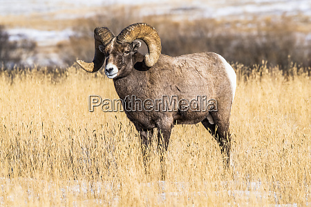 bighorn sheep ram ovis canadensis with