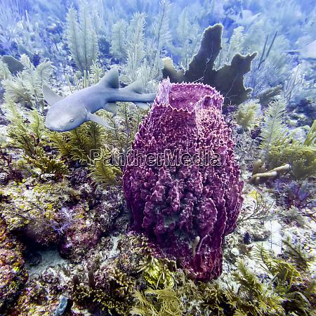 nurse shark ginglymostoma cirratum viewed while