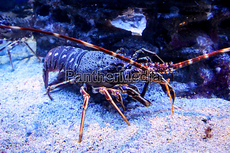 close up of a lobster in