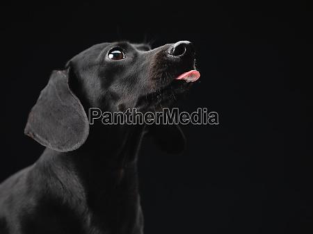 portrait of an alert black daschund