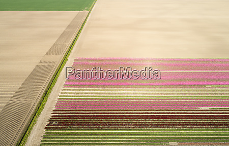 aerial, view, of, bulb, fields, in - 28794068