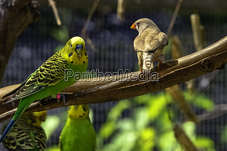 melopsittacus undulatus known as budgerigar and