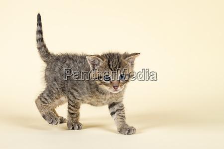 mammal wildcat 2020 32845