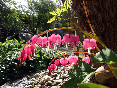 bleeding heart lamprocapnos spectabilis flowering