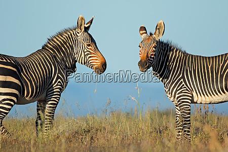 cape mountain zebras in natural habitat