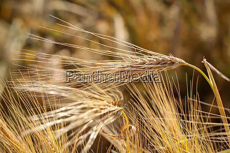 view of a grain field with