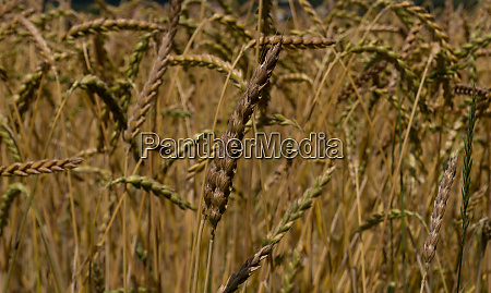 wheat field in the summertime